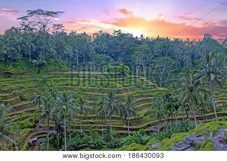 Rice fields in Bali Indonesia Asia