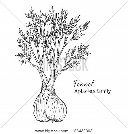 Ink fennel herbal illustration. Hand drawn botanical sketch style. Absolutely vector. Good for using in packaging - tea, condinent, oil etc - and other applications