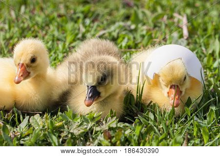 Three little domestic gosling in green grass.