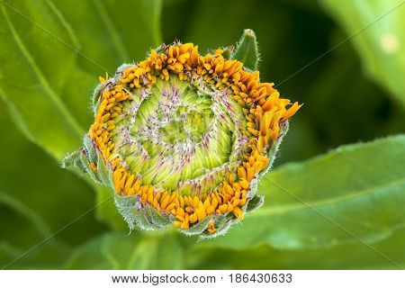 Infant Budding Calendula Officinalis - Greenheart Orange / Pot Marigold