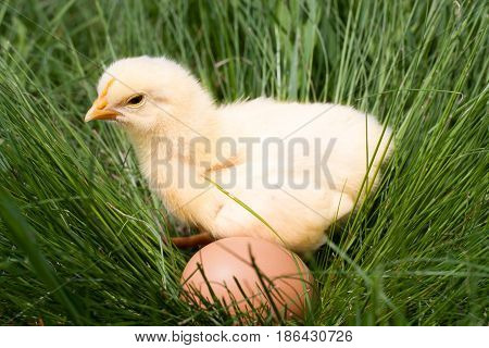 baby chicken with egg in the green grass.