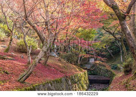 Kyoto Japan- November 282015 : Red Maple falls in Autumn at Tofukuji Temple Kyoto Japan.