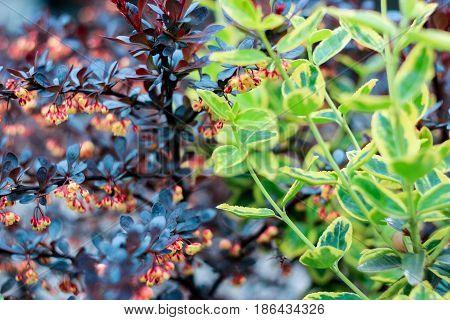 Green bush Euonymus fortunei and burgundy bush barberry on a dark purple background