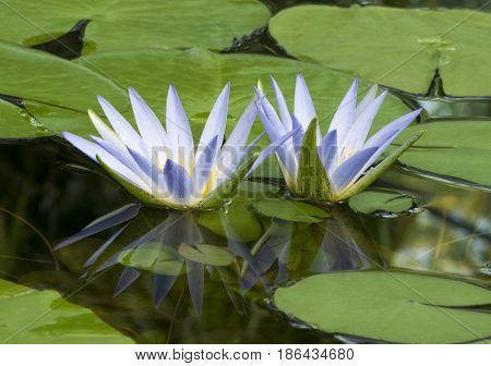 Blue Lotus Of Egypt, Nymphaea Caerulea Waterlilies With Reflection