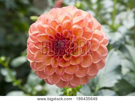 Single Robin Hood Dahlia