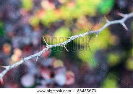 Twig with thorns of a barberry bush on a burgundy-green background