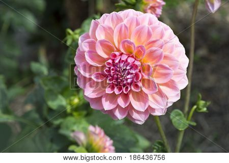 Pink Hillier Tanunda Dahlias - Right Side