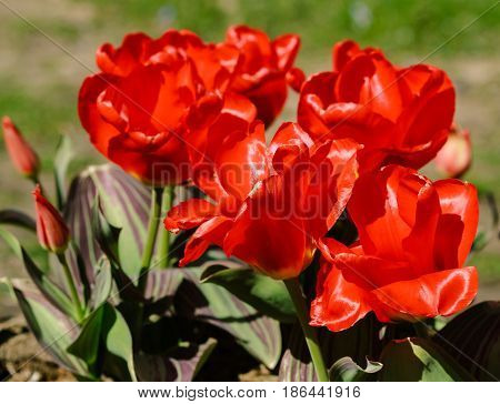 nine red tulips grow in botanical garden on earth, three  buds, six full bloom, large bright red petals, very colorful, saturated color, sunny day, plants shine in sun, green leaves with  lilac strip,