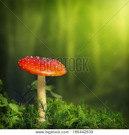 perfect fly agaric (amanita muscaria) growing on mossy ground in the forest