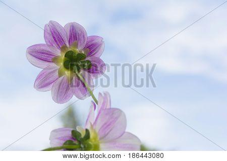 Two Aegean Sky Dahlia Flowers