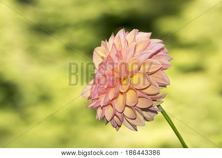 Robin Hood Dahlia Flowers Side View