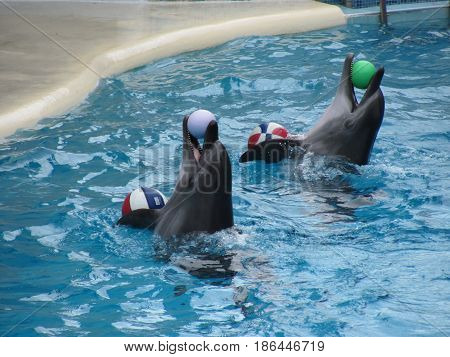 Close view of dolphins playing with balls in the waterpool