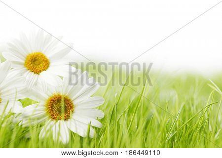 White daisy flowers in green grass isolated on white background