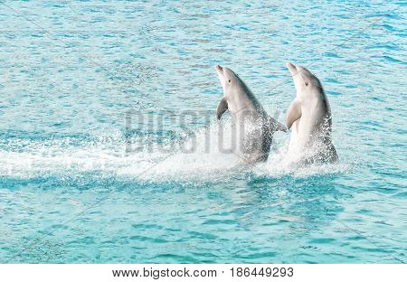 Two dolphins play swimming in the sea
