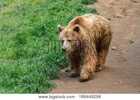 European Bear walking on the forest road