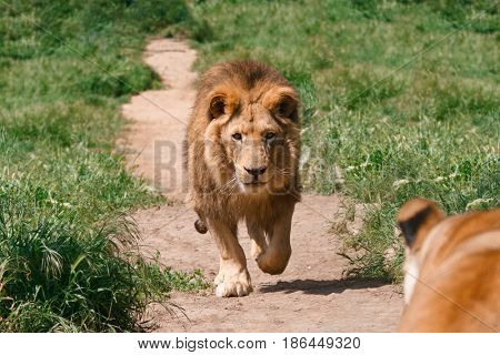 Male lion running to female lion