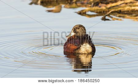 The blue-billed duck (Oxyura australis) is a small Australian stiff-tailed duck endemic to Australia's temperate regions, inhabiting natural and artificial inland wetlands.