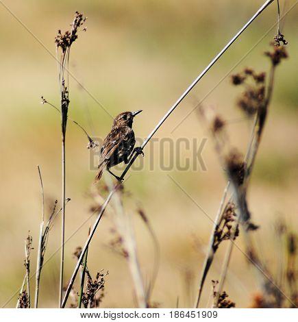 sedge warbler or reedbird on a grass helm in spain