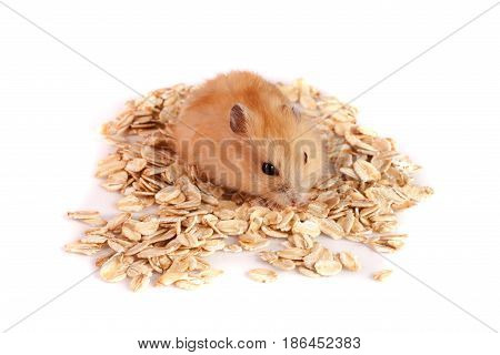oat flakes with a hamster isolated on white background.