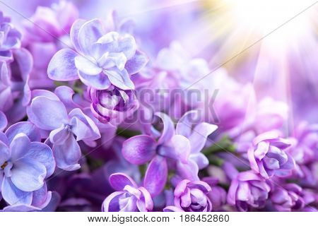 Lilac flowers bunch violet art design background. Beautiful violet Lilac flower closeup. Watercolor nature floral background
