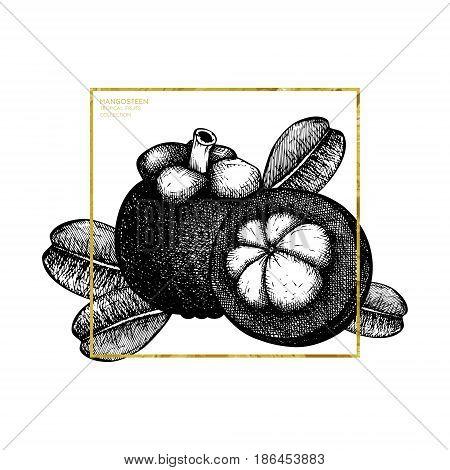 Purple mangosteen fruit hand drawn illustration. Engraved botanical sketch. Tropical evergreen tree design. Gold frame.