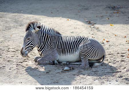Zebra (Equus quagga) wild herbivore animal relaxing