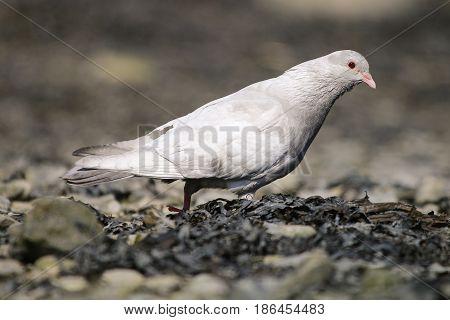 A grubby Albino pigeon wandering through seaweed