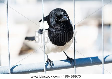 magpie sits thoughtfully on fence, bird, feather, nature