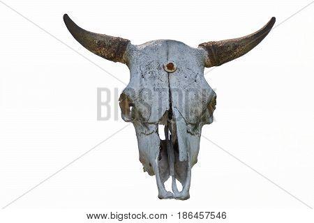 old bull skull hanging on white background