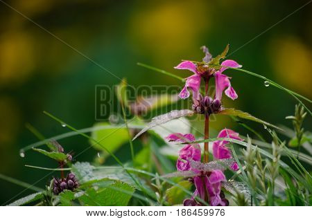 Spotted deadnettle on on natural forest background wildflowers medicinal macro