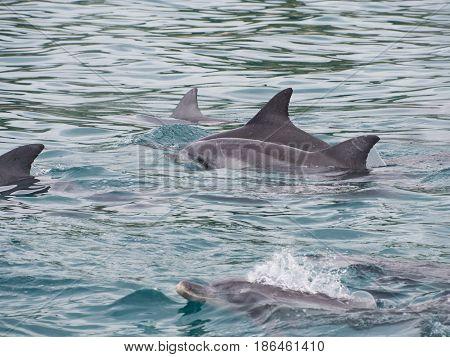 Pod of bottlenose dolphins (Tursiops truncatus) Western Australia