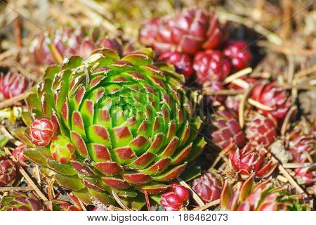 jovibarba, grows in the botanical garden, illuminated by the sun, bright, green with red and brown leaves on the tips, near a lot of small red plants, on the ground are the needles from the pine,