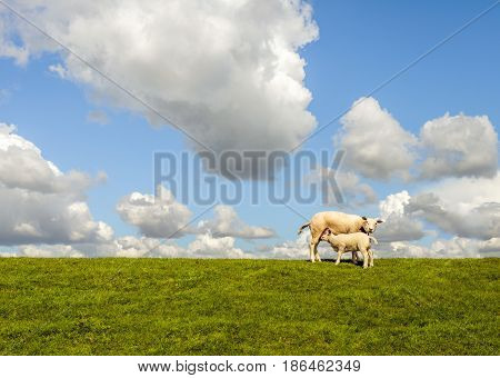 Baby sheep drinking at its mother against the background of a blue sky with large cumulus clouds.
