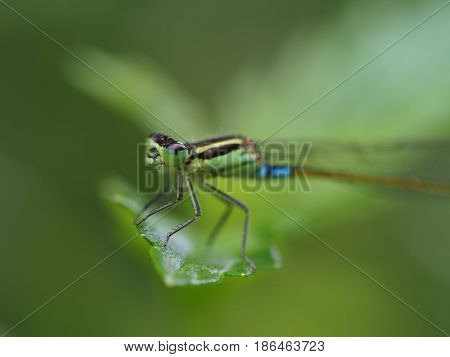 Closeup of a green and turquoise damselfly