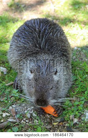 beautiful black nutria which keeps the legs and eating a carrot