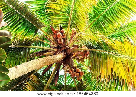 Coconut tree with  fruits. Bottom view. Selective focus