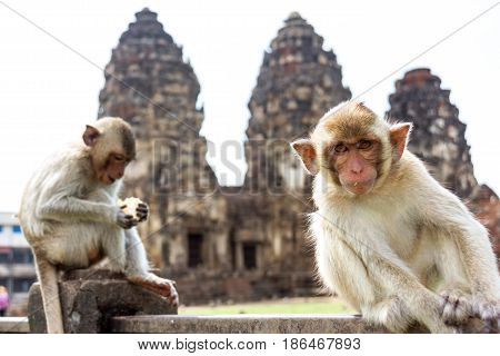 young rhesus macaque monkey ( Crab-eating or Long-tailed macaque ) sitting in front of ancient pagoda architecture Wat Phra Prang Sam Yot temple Lopburi Thailand.