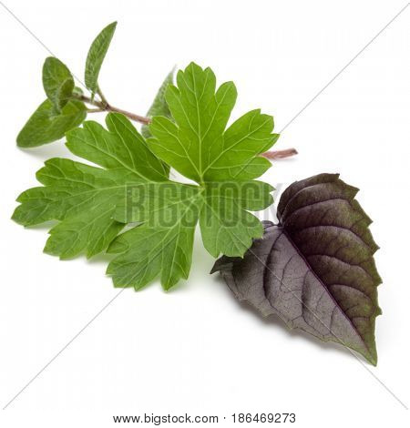 Fresh herb leaves variety isolated on white background. Purple dark opal basil, oregano, parsley.
