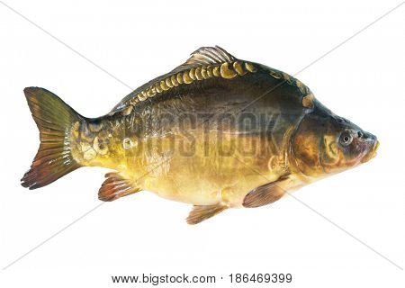 Big mirror carp isolated on white background. Common carp. Cyprinus carpio