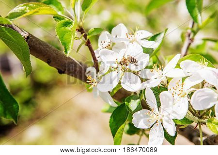 Bee On A White Flower On A Tree