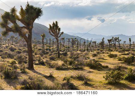 Joshua Trees Growing In The Desert - Joshua Tree National Park, California