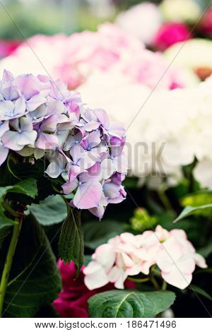 Hydrangea soft focus noise added. Beautiful flowers. Beauty in nature. Hydrangea macrophylla - Beautiful bush of hydrangea flowers in a flowers market