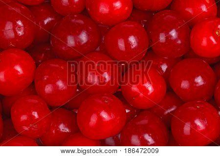Numerous ripe red fruit of sour cherries (Prunus cerasus) fill the frame