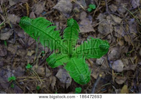 Young green shoot of fern in Siberian taiga forest in spring closeup
