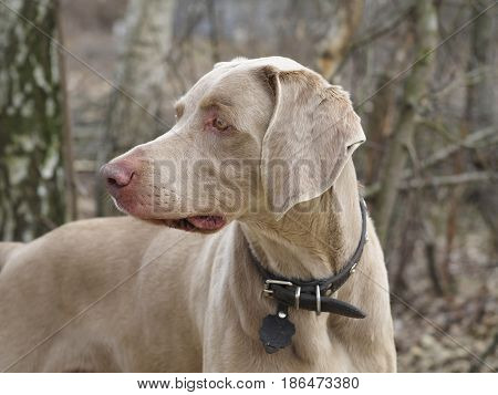 Closeup Portrait Of A Weimaraner Dog On Nature Befor Hunting