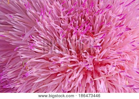 Purple compound flower of musk thistle (Carduus nutans) fills the frame of a flower background