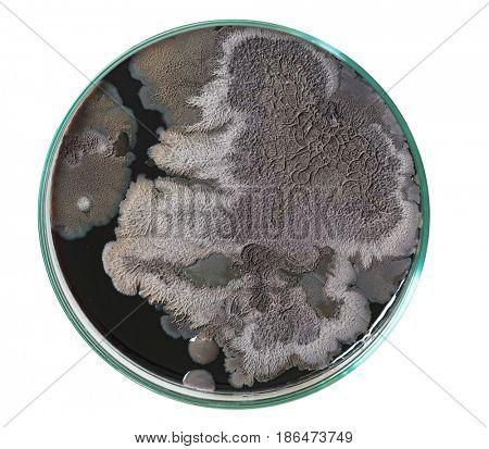 Mold fungus in petri dish