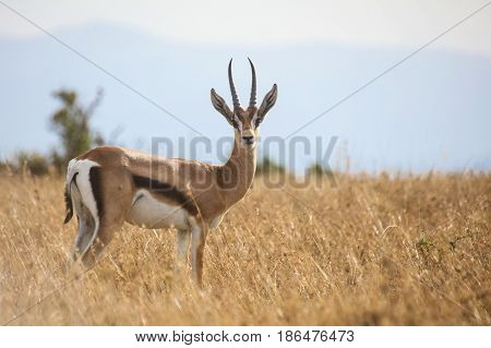 Portrait of a young male Grant's gazelle (Gazella granti) in tall dry grass. Ol Pejeta Conservancy Kenya.