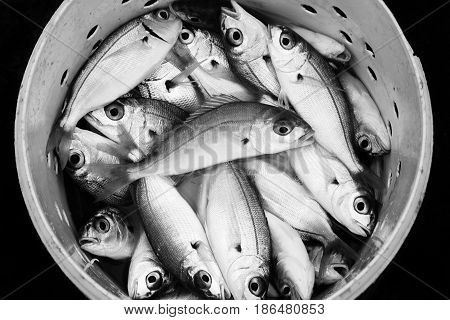 Black and white fresh recently caught Atlantic sea fish in a bucket to be used as fishing bait