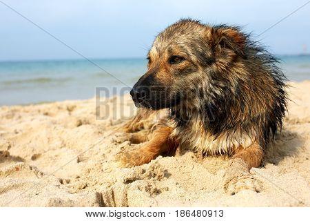 Lone sad dog lying on the street. mongrel